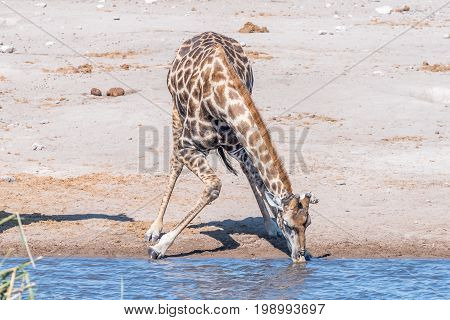 A Namibian giraffe giraffa camelopardalis angolensis drinking water at a waterhole in northern Namibia