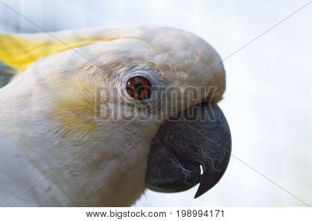White Cockatoo, Sulphur-crested Cockatoo (Cacatua sulphurea). Cockatoo close-up. Portrait of a cockatoo.