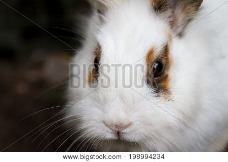 White-brown fluffy rabbit close-up. Portrait of a Bunny in the nature.