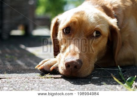 The dog looks sideways with a sad look. Red-haired dog with sad eyes.