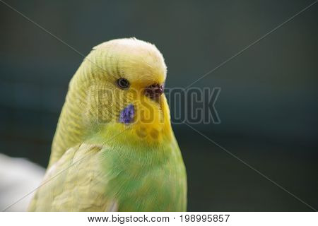 Yellow-green wavy parrot on a dark green natural background. Portrait of a parrot close-up.