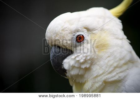 Cute white cockatoo close-up. Close-up portrait of a cockatoi. Exotic bird on a dark green background.