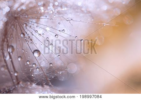 Macro seed of dandelion with water drops. Abstract photo with a dandelion after the rain. Selective focus.