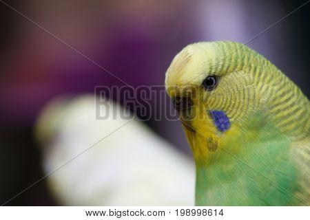 A wavy parrot close-up. Yellow-green exotic parrot, closeup.