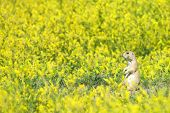 A single prairie dog sits alone in a field of yellow mustard plants. poster
