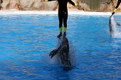 man jumping being propulsed in the air by dolphins poster
