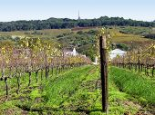 FROM PAARL, CAPE TOWN SOUTH AFRICA, GRAPE VINES IN THE FORE GROUND AND A GREEN HILL FULL OF TREES IN THE BACK GROUND poster