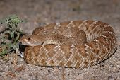 A red diamond rattlesnake photographed at night when it is naturally active. poster