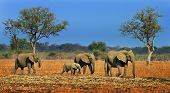 A small herd of elephants walking across the African plains with a vibrant blue sky in South Luangwa National Park Zambia Africa poster