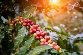 Coffee beans on trees fresh branch nature harvest