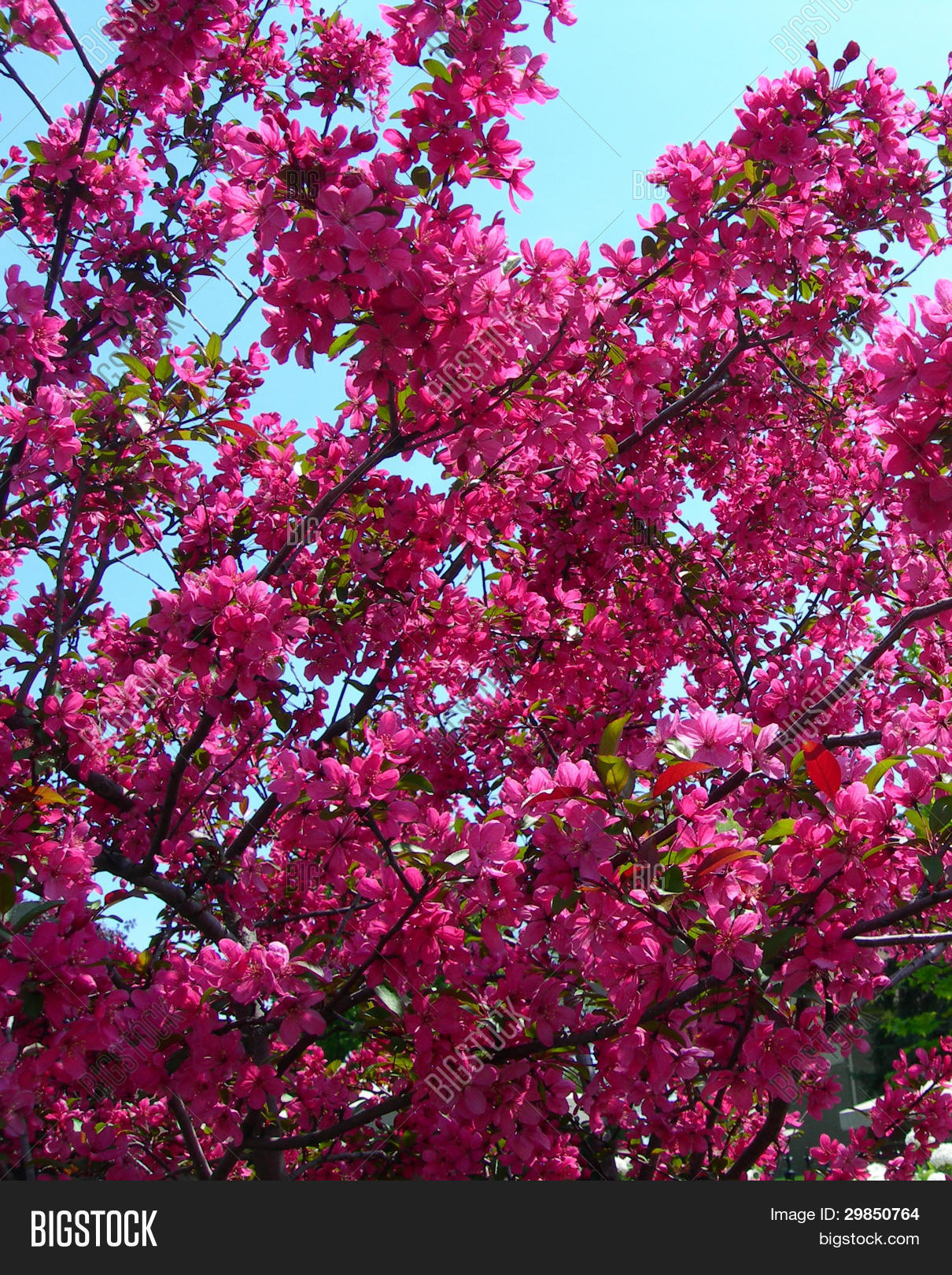 Hot Pink Flowering Image Photo Free Trial Bigstock