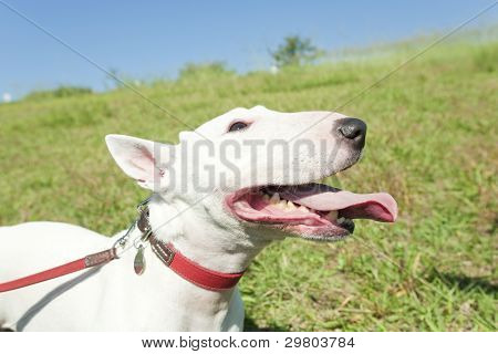 The bull terrier which is taking a walk