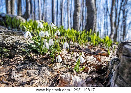 Detail Photo Of White Snowdrops, Klak Hill, Slovak Republic. Spring Time.