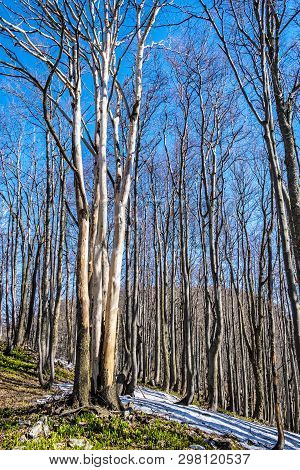 Deciduous Forest In Spring With Snowy Places, Klak Hill, Slovak Republic. Seasonal Natural Scene.