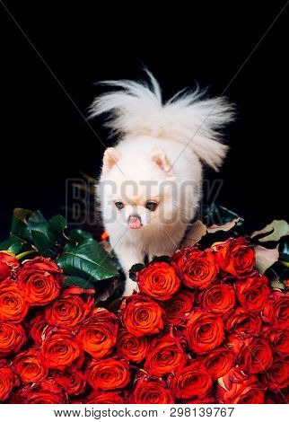 Pomeranian Spitz. Fashionable Doggy On Roses. A Gift For A Glamorous Girl. Cute White Puppy. Pet. Do