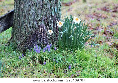 Daffodils And Hyacinth Bloom Near A Moss Covered Tree Trunk In Rural Kentucky.