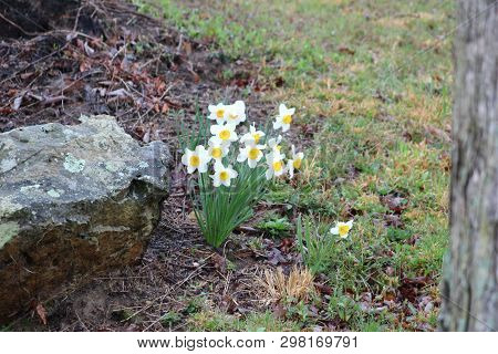 A Bunch Of Daffodils Bloom Alongside A Large Rock On A Rainy Spring Day In Kentucky.