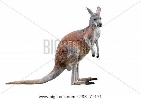 Male Kangaroo Isolated On White Background. Big Kangaroo Full Lengths, Side View. The Kangaroo Is A