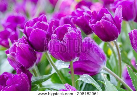 Tulip Flower In Tulip Field At Winter Or Spring Day. Lovely Spring Tulip Flowers. Spring Flower Land