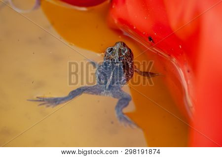 A Small Garlic Toad Floats In A Children's Water Basin