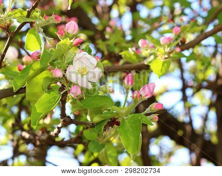 White Apple Flower And Pink Buds On Branch In Spring Garden With Blurred Natural Background. Beautif