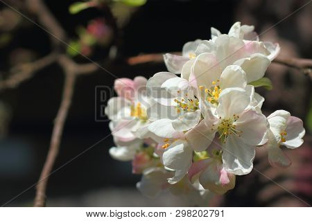 Awe Blooming White Flowers Apple Branch On A Blurred Dark Background Close-up. Selective Focus