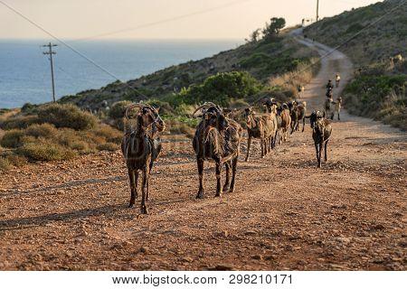 Herd Of Goats Ran Down A Street In The Evening Sun
