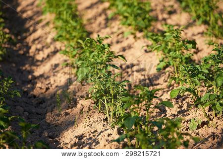 Seedlings Of Organic Potatoes Growing In The Countryside In Poland