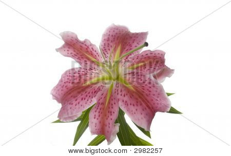 Close Up Of Beautiful Pink Lily