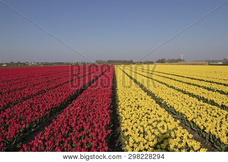 Countless Thousands Of Yellow And White Tulips With Their Flowers Facing The Blue Sky