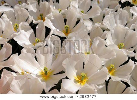 White Open Tulips