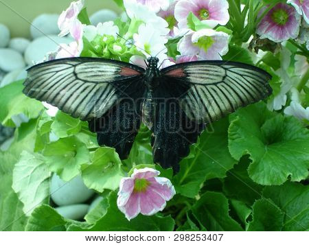 The Great Mormon (lat. Papilio Memnon) Is A Large Butterfly With Contrasting Colors. Beautiful Butte