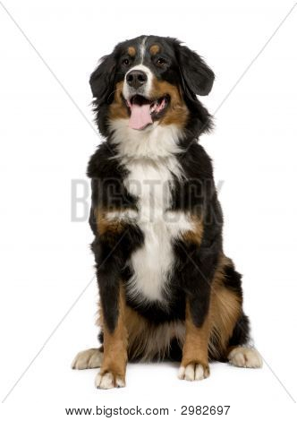 Bernese Mountain Dog (1 Year)