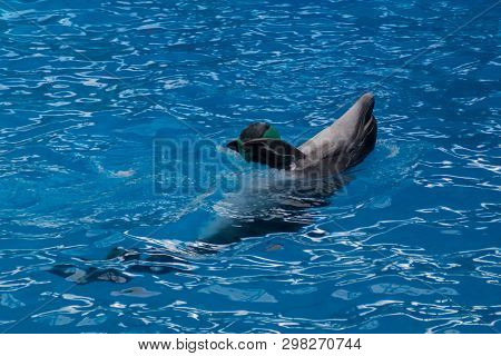 Trained Dolphin In The Aquarium, Dolphinariums. Show With Dolphins. Dolphin Playing With A Ball In T