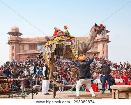 Bikaner, India - January 12, 2019: Dromedary Camel With Bucket Of Water Dancing During Camel Festiva