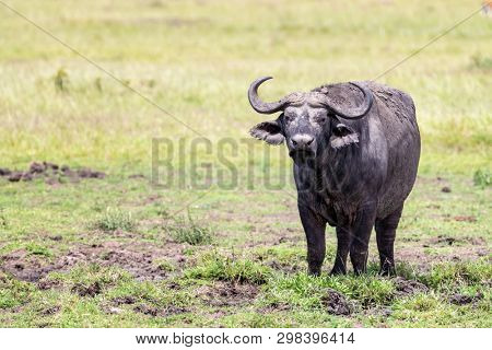 Cape or Southern Savanna buffalo, Syncerus caffer, is the largest of the four African buffalo subspecies. This standing young male is covered in mud and surrounded by the flies of the Masai Mara