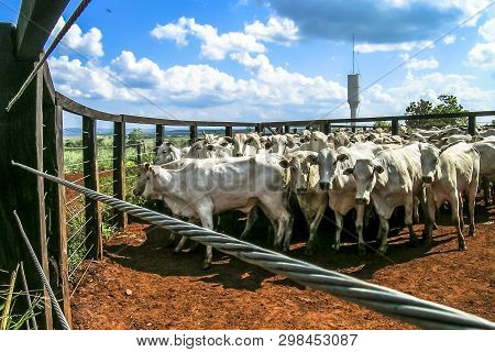 Parana, Brazil - October 23, 2003: A Group Of Cattle In Confinement