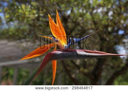 Colorful flower Bird of paradise - Strelitzia Reginae poster