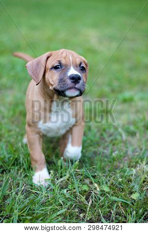 American Staffordshire Terrier. Brown Puppy. Puppy. Staffordshire Terrier.