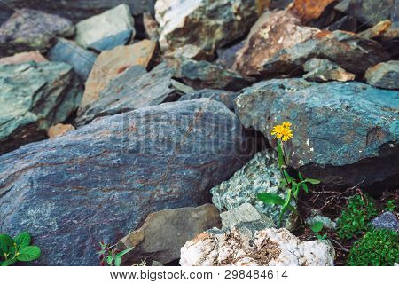Multicolored Boulder Stream. Loose Rock Close Up. Yellow Flower Among Randomly Stones. Amazing Detai