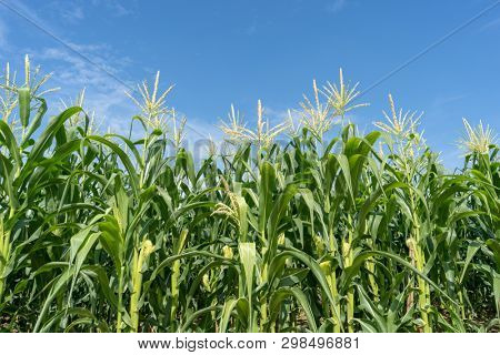 Corn field plantation in sunny day with blue sky.
