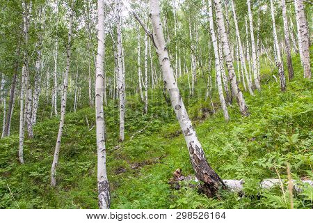 Beautiful Birches With White Birch Bark In A Birch Grove With Green Birch Leaves On The Slope