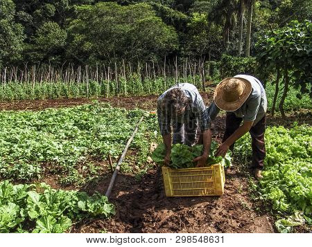 Itapeva, São Paulo, Brazil, April 25, 2007. Farmer Harveting Vegetables In Filed In Brazil