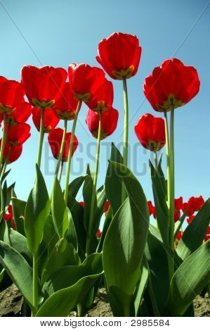 Tulips Reaching For The Sun
