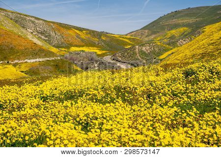 Hillside Daisies And Fiddleneck Wildflowers  With The Road In The Background At Carrizo Plain Nation