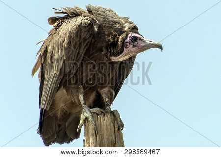 Lappet-faced Vulture (torgos Tracheliotus) ,gambia - West Africa