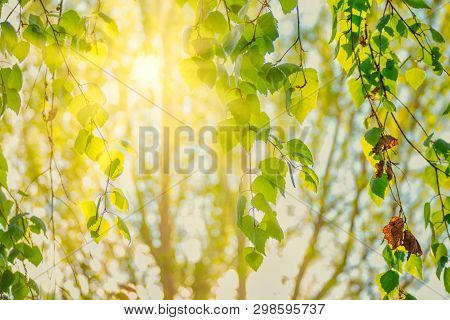 Sun In Th Birch Branches With Tender Green Leaves