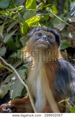 Red Colobus Monkey.wild Nature.close Up. The Gambia,africa