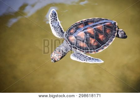 Green Turtle Farm And Swimming On Water Pond / Hawksbill Sea Turtle Little Baby 2-3 Months Old