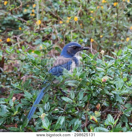 Closeup Of Wild Adult California Scrub Jay (aphelocoma Californica) In Bush.